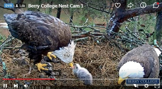 Adult eagles feed surviving eaglet at Berry College nest