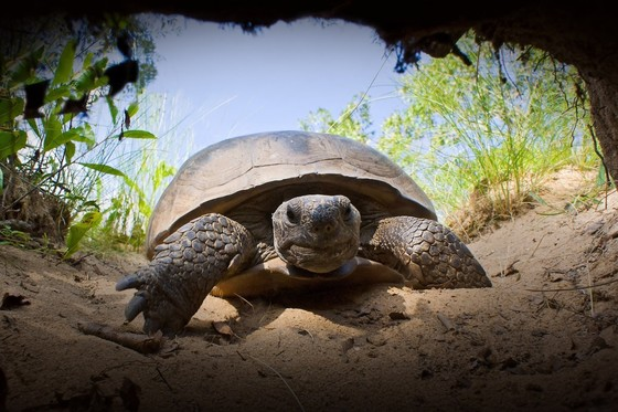Gopher tortoise entering burrow (Kevin Stohlgren)