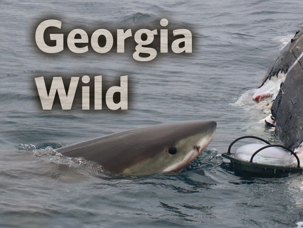 Georgia Wild masthead: great white shark
