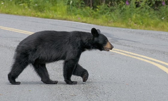 Black bear crossing a road
