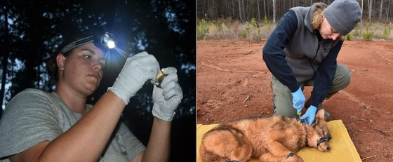 Jessica McGuire, left, checks a bat; Tina Johannsen collars a coyote for a study.