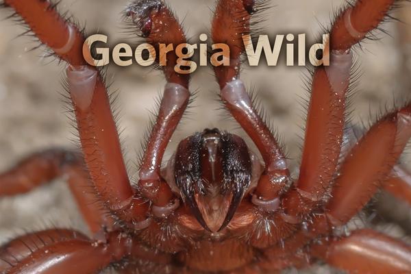 Ga Wild Masthead: trapdoor spider (Daniel D. Dye II)