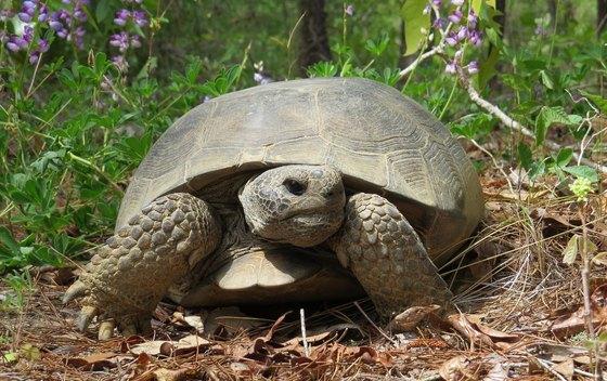 Gopher tortoise (Dirk J. Stevenson)