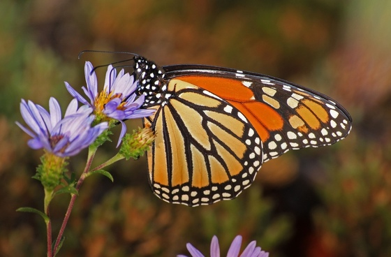 Monarch butterfly (Alan Cressler)