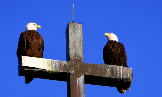 Eagles atop St. Peter's Episcopal (Patty Frothingham)
