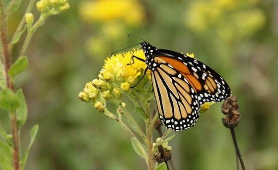 Monarch (Laura Lukens/Monarch Joint Venture)
