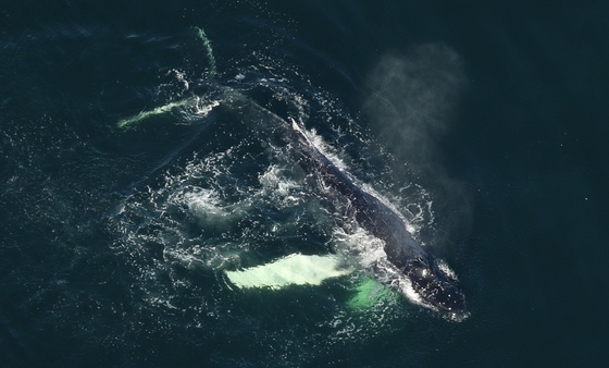 Humpback showing signs of entanglement (FWC)