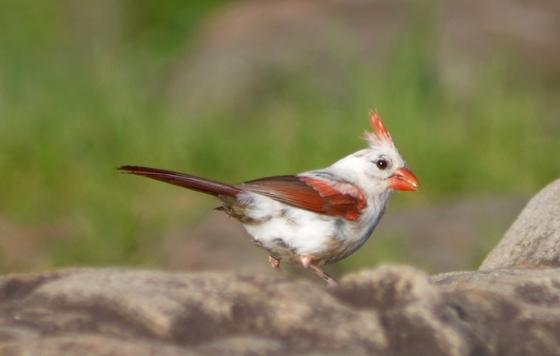 Leucistic cardinal (Evan Schneider)