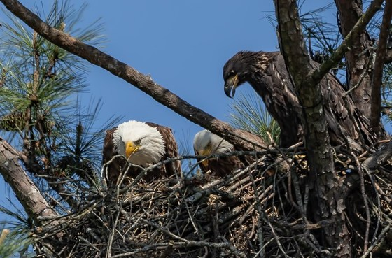 Berry College eagle nest (Gena Flanigen)