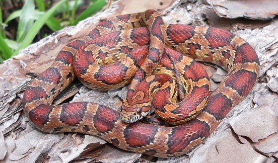 Corn snake in Long County (John Jensen/DNR)