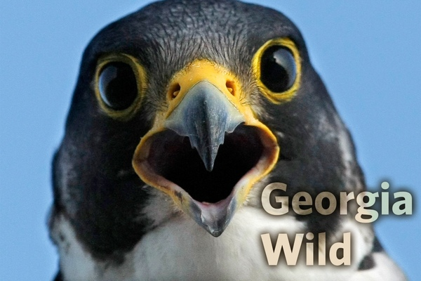 Georgia Wild Masthead: Peregrine Falcon (Curtis Compton/Atlanta Journal-Constitution)