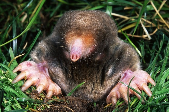 Eastern Mole (Kenneth Catania/Vanderbilt University)
