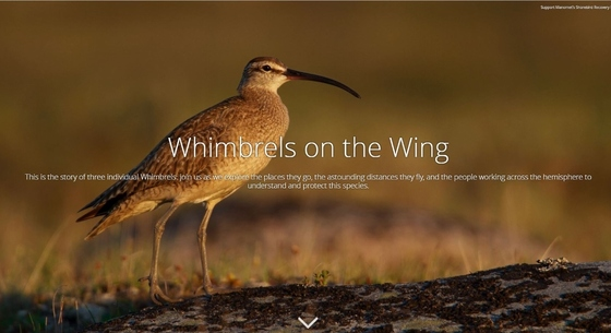 Whimbrels Story Map (Manomet)