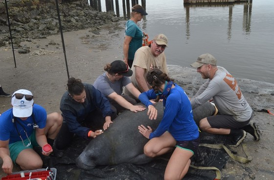 Assessing and Tagging a Manatee (USFWS, project done through Sea to Shore Alliance, USFWS Permit #MA37808A)