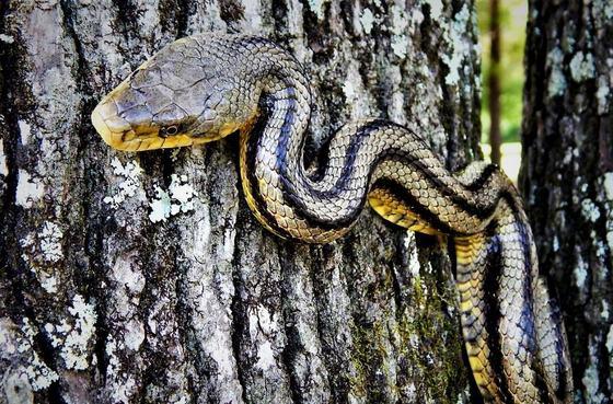 Fully-striped rat snake (Matt Moore)