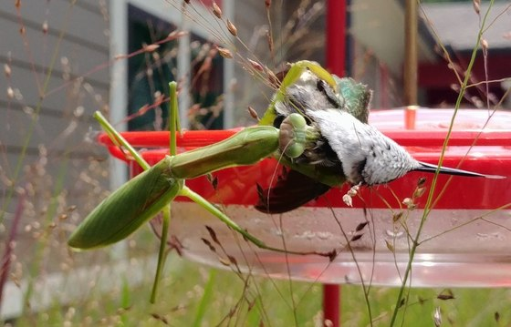 Praying mantis with hummingbird (Stephanie L. Cherry-Farmer/DNR)