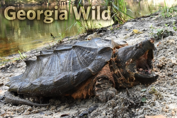 Georgia Wild masthed: Suwannee alligator snapping turtle (Ben Stegenga, The Orianne Society)