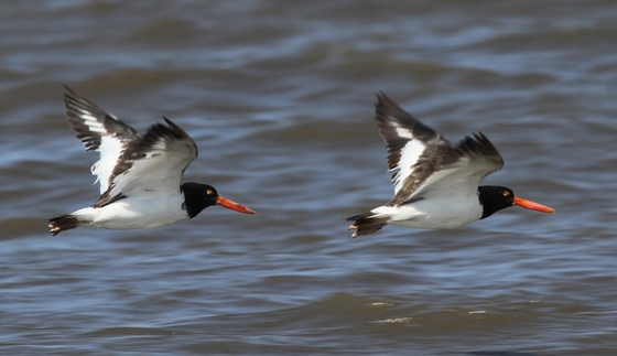 American oystercatchers in flight (Tim Keyes/DNR)