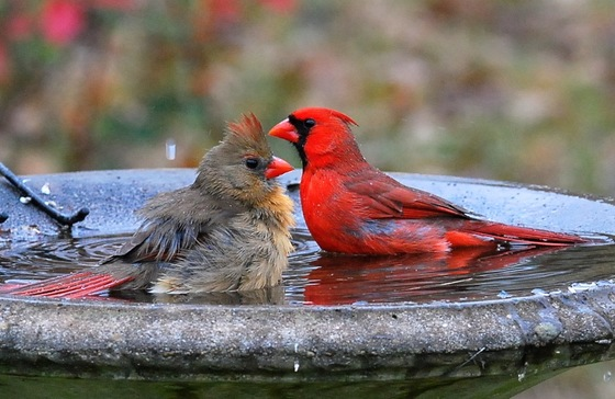 Female and male cardinal take a dip in the birdbath (Terry W. Johnson)