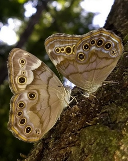 A southern and northern pearly eyes butterfly (Phil Delestrez/DNR)
