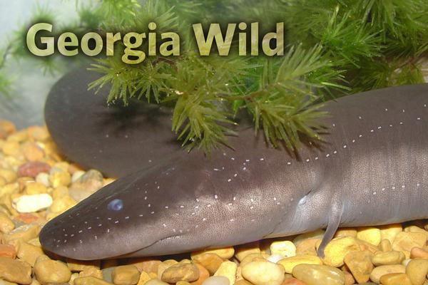 Georgia Wild masthead: two-toed amphiuma
