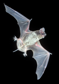Brazilian free-tailed bat (J. Scott Altenback)