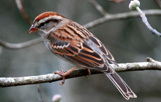 Chipping sparrow (Terry W. Johnson)