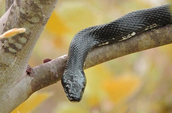 Rat snake (USFWS)