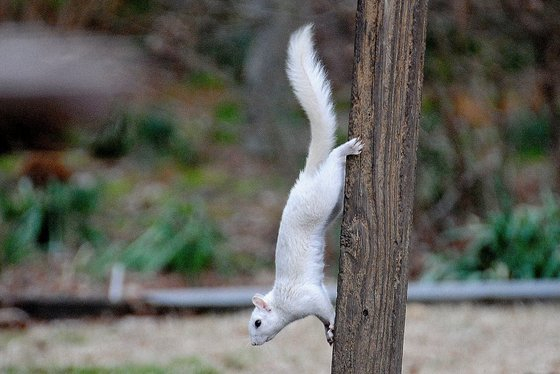 White squirrel in Warner Robins (Ron Lee)