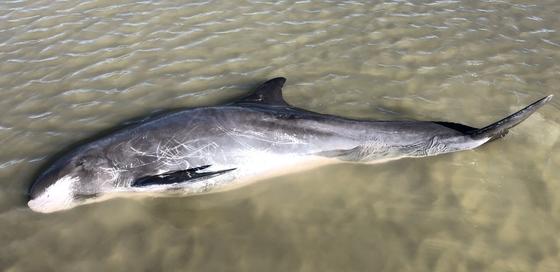 Pygmy killer whale (DNR)