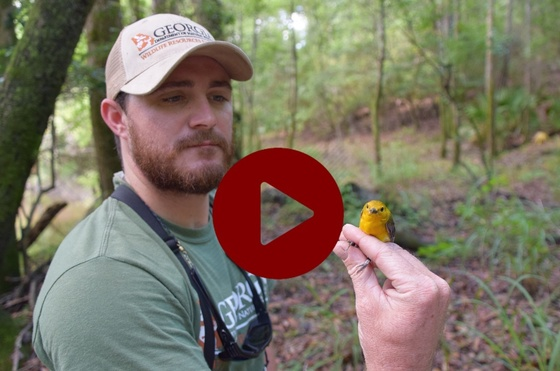 DNR's Zach Henshaw with a prothonotary warbler (Joe Burnam/DNR)