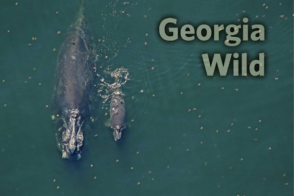 GaWild masthead: Right whale and calf (Florida FWC/NOAA permit 20556-01_20190106)