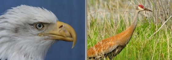 Bald eagle (left); sandhill crane (USFWS)