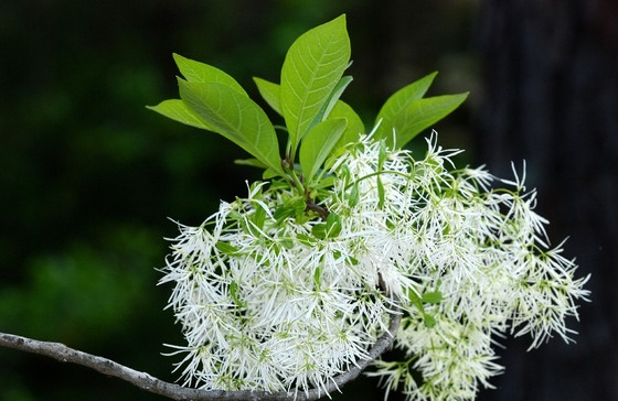 Fringe tree blossom (Terry W. Johnson)