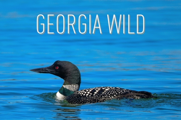 Georgia Wild masthead: featuring loon photo by Ron Goldfarb