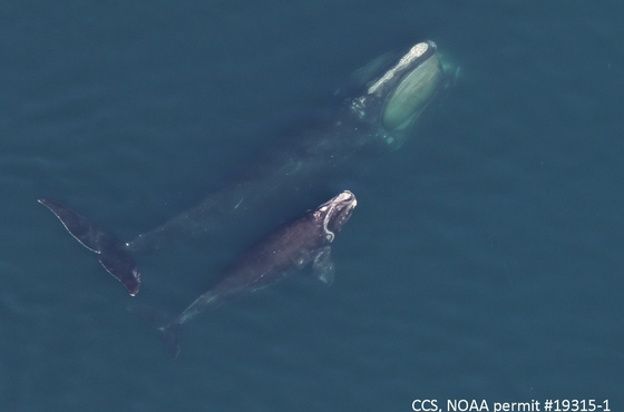 Right whale 1204 with her calf in Cape Cod Bay (Center for Coastal Studies/NOAA permit 19315-1)