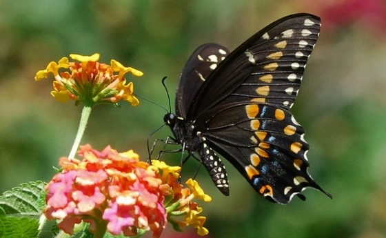 Male black swallowtail (Terry W. Johnson)