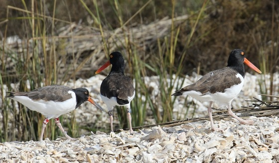 A family of American oystercatchers (Tim Keyes/DNR)