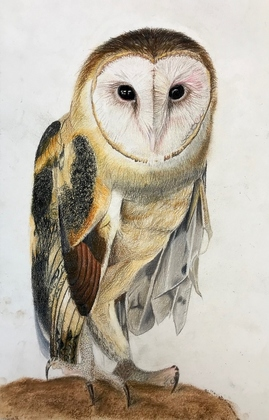 Barn owl winner in YBC T-shirt Art Contest