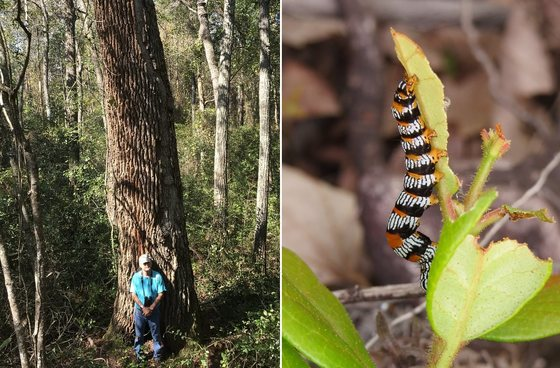 Alligator Creek finds: Frankie Snow with champion swamp tupelo; Okefenokee zale moth caterpillar