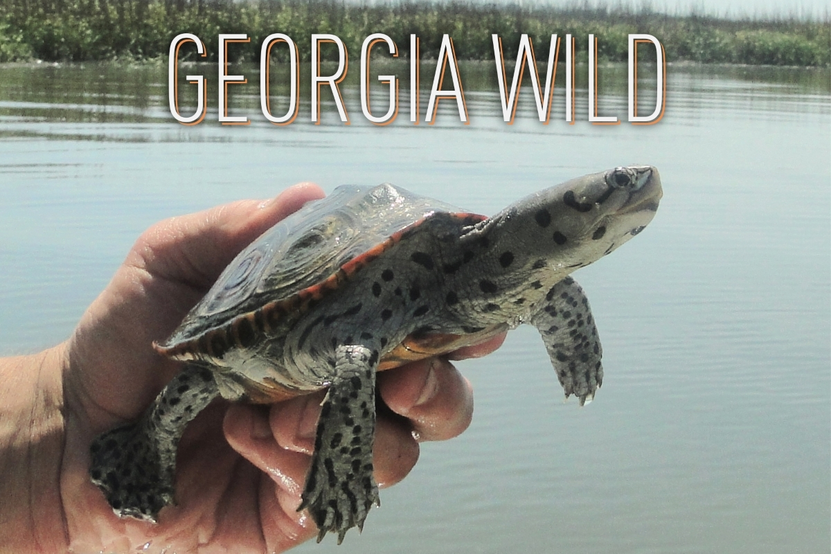 Georgia Wild masthead: diamondback terrapin on marsh
