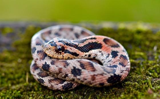 Juvenile eastern hognose snake (Mark Krist)