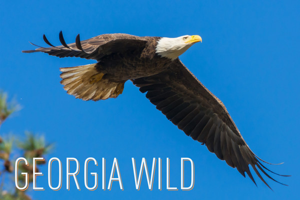 Georgia Wild masthead: Bald Eagle (Tom Wilson/Georgia Nature Photographers Association)