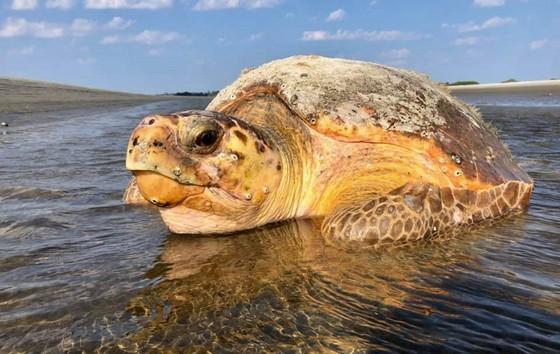 Loggerhead sea turtle on Ossabaw (Caliegh Quick/DNR)