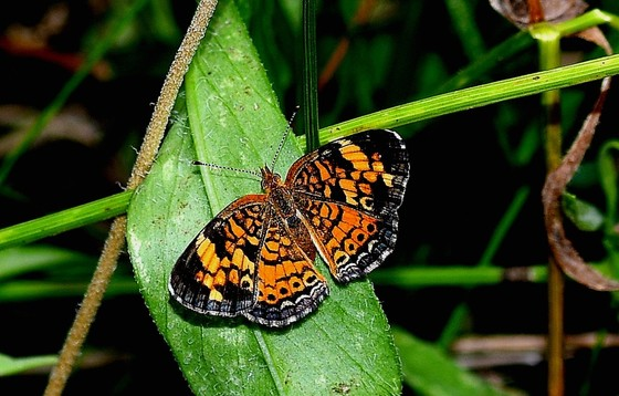 Pearl crescent (Terry W. Johnson)