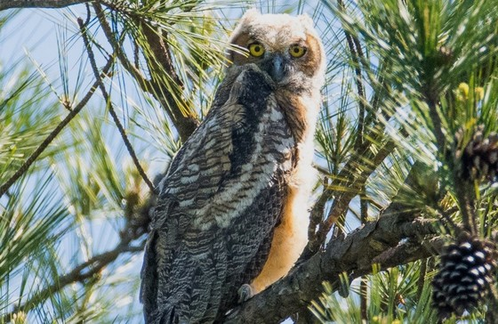 Young great horned owl (Ron Goldfarb)
