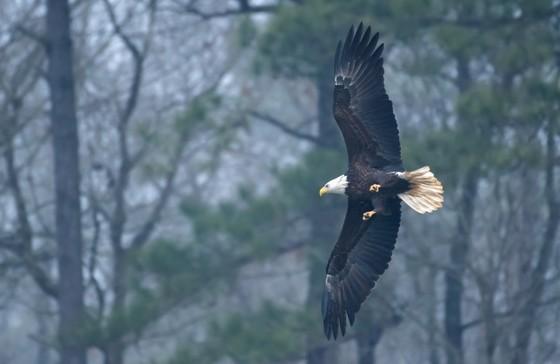 Bald eagle in flight (Tom Wilson/Georgia Nature Photographers Association)