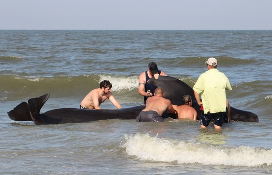 Helping a stranded pilot whale on St. Simons (Jordan Chriqui/Coastal Blackwater Adventures)