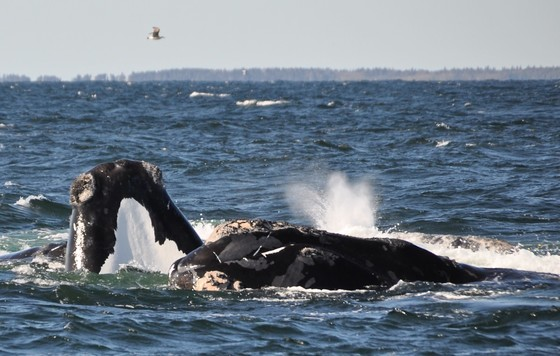 North Atlantic right whales in Canadian waters (Jolinne Surrette/Fisheries and Oceans Canada)