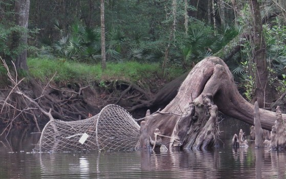 Hoop trap at a promising alligator snapping turtle site (Dirk J. Stevenson/Altamaha Environmental Consulting)